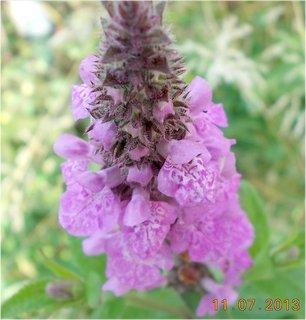 FOTKA - 11.července - 17 - plevelní kvítí