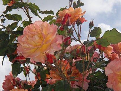 FOTKA - oranžové ruže a oblaky