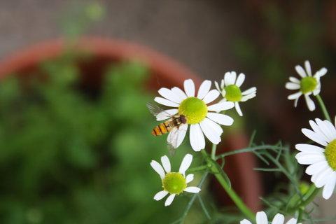 FOTKA - květy heřmánku,,,,,,,,,