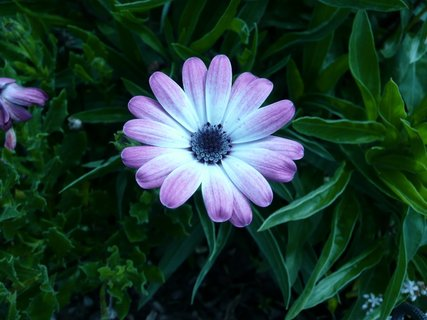 FOTKA - Osteospermum 1