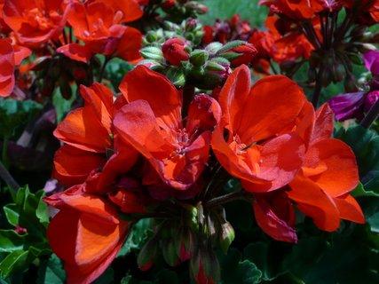 FOTKA - Rudý muškát