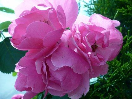 FOTKA - Růžové růžičky