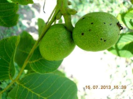 FOTKA - 13 - 15.7. - 8 - vlašským ořechům se daří, pěkně rostou, ale je jich málo letos