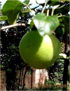 FOTKA - 13 - 15.7. - 9 - jablkao, ale letos je budu asi počítat, malá úroda bude