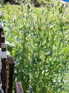 FOTKA - 13 - 15.7. - 26 - na zahradě - můj bodlák, čekám na květy a pořád nic