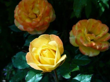 FOTKA - 3 růžičky