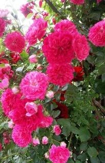 FOTKA - Růžičky...
