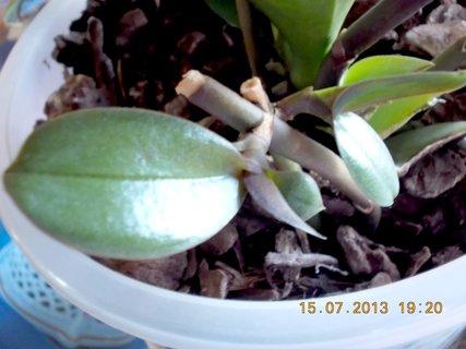 FOTKA - 15-17.7. - 7 - na pahýlku roste nová orchidejka, dvě