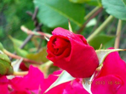 FOTKA - 15-17.7. - 13 - krásná barvička růže