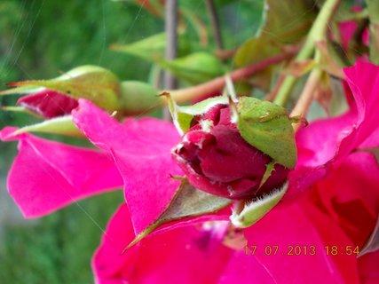 FOTKA - 15-17.7. - 15 - krásná barvička růže