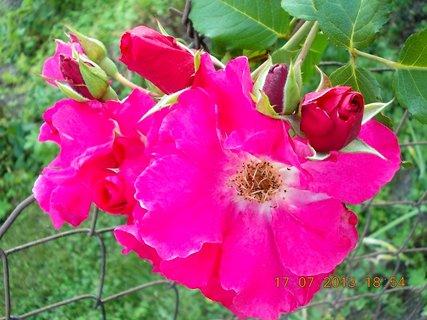 FOTKA - 15-17.7. - 16 - krásná barvička růže