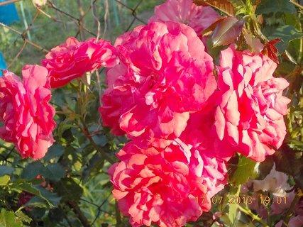 FOTKA - 15-17.7. - 18 - krásná barvička růže