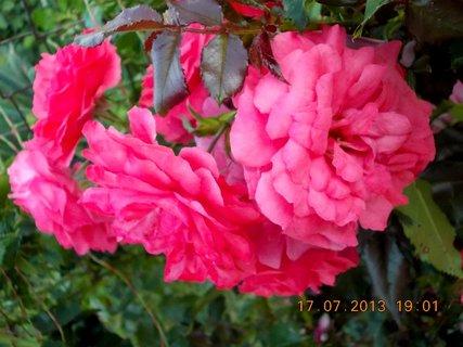 FOTKA - 15-17.7. - 19 - krásná barvička růže