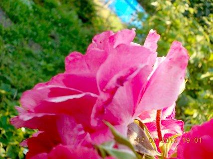 FOTKA - 15-17.7. - 20 - krásná barvička růže