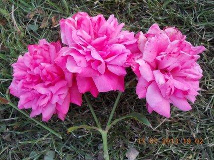 FOTKA - 15-17.7. - 21 - krásná barvička růže