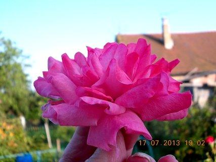 FOTKA - 15-17.7. - 22 - krásná barvička růže