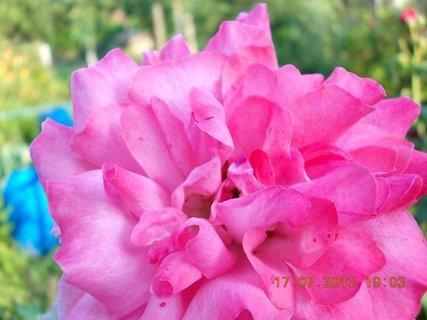 FOTKA - 15-17.7. - 23 - krásná barvička růže
