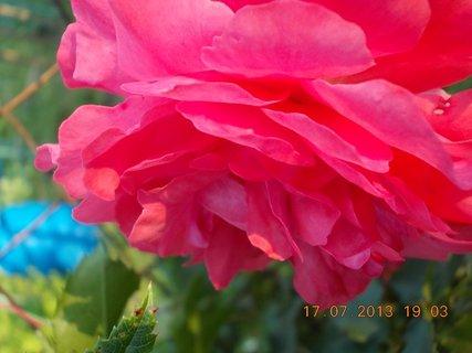 FOTKA - 15-17.7. - 24 - krásná barvička růže