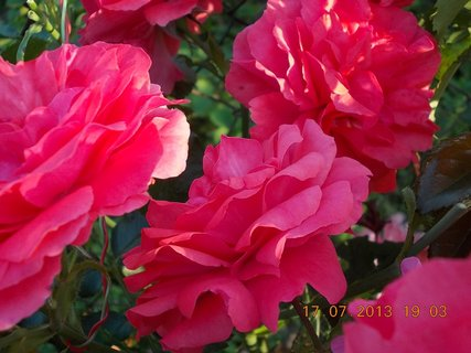 FOTKA - 15-17.7. - 25 - krásná barvička růže
