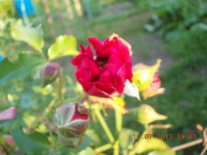 FOTKA - 15-17.7. - 26 - krásná barvička růže