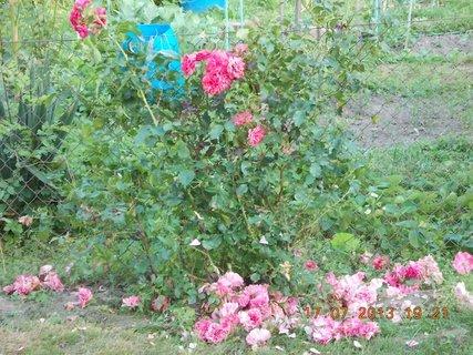 FOTKA - 17 +18.7. - 9 - růžím jsem udělala se střih