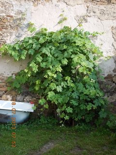 FOTKA - 17 +18.7. - 20 - hroznové víno se pěkně rozrostlo