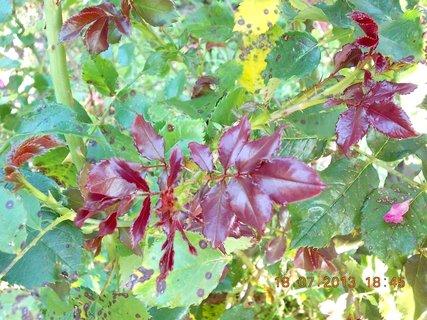 FOTKA - 18 - 20.7. - 3 -nové listy na růži