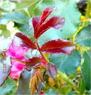 FOTKA - 18 - 20.7. - 4 -nové listy na růži