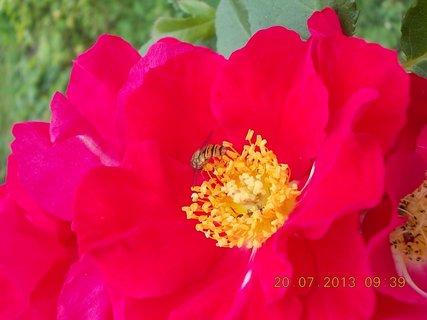 FOTKA - 18 - 20.7. - 17 - vosička na květu