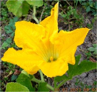 FOTKA - 18 - 20.7. - 20 - květ na dýni