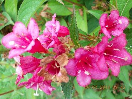 FOTKA - 18 - 20.7. - 22 - poslední květy na Wiegele