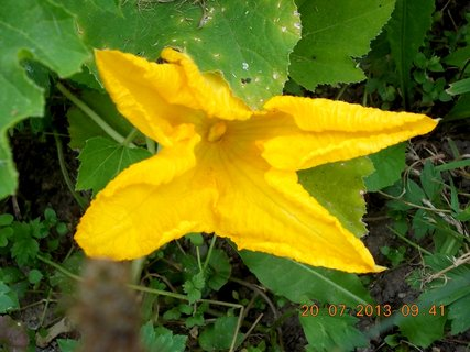 FOTKA - 18 - 20.7. - 23 - květ na dýni