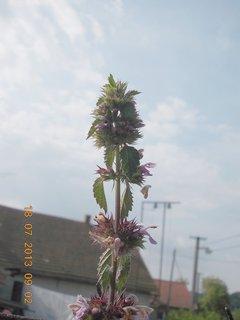 FOTKA - 21 +18.7 - 10 - kvetoucí kopřiva až k nebi snad vyroste
