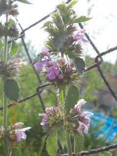 FOTKA - 21 +18.7 - 11 - i kopřiva má krásné kvítka