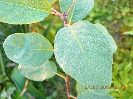 FOTKA - 21 +18.7 - 26 - ranní rosa na listech borůvčí