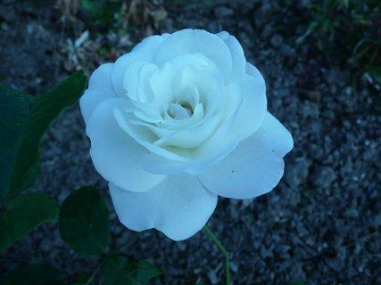 FOTKA - Bílá růže