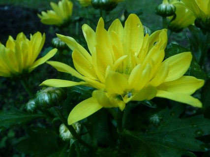 FOTKA - Žluté chryzantémy 1