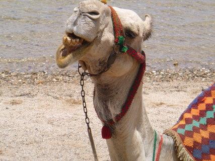 FOTKA - velbloud na pláži