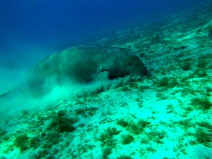 FOTKA - dugong