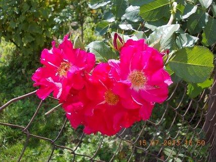 FOTKA - 15 - 18.7. - 8 - růže popínavé