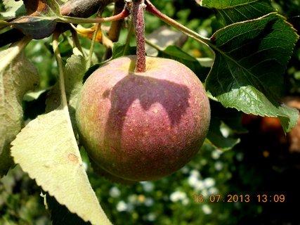 FOTKA - 15 - 18.7. - 19 - jablko se stínem listu