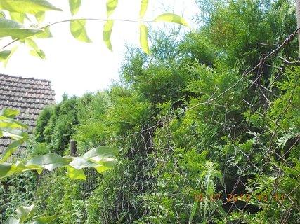 FOTKA - 15 - 18.7. - 24 - sousedovi krásně rostou