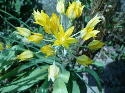 FOTKA - Žlutý okrasný česnek