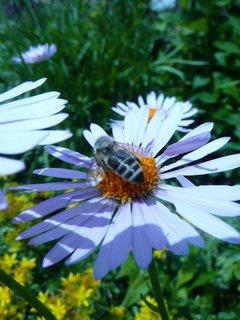 FOTKA - Fialová kopretina s včelkou