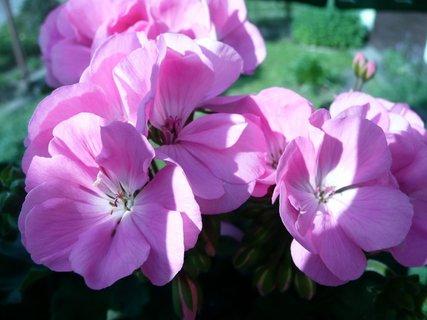 FOTKA - Růžový muškát 2
