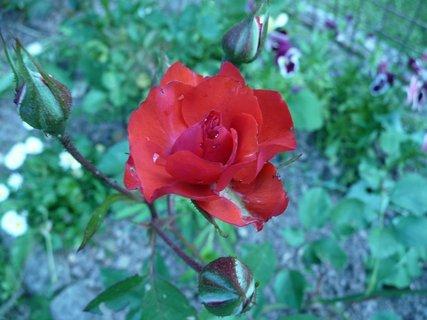 FOTKA - Rudá růžička