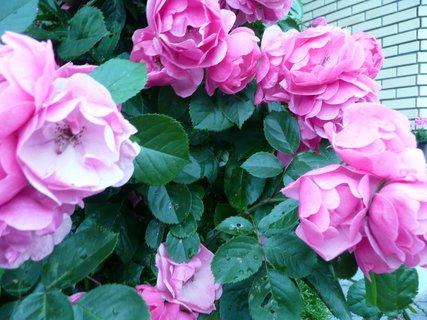 FOTKA - Růžové růžičky 2