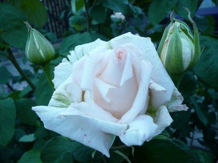 FOTKA - Narůžovělá růže