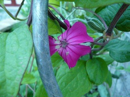 FOTKA - Tmavě růžový klematis
