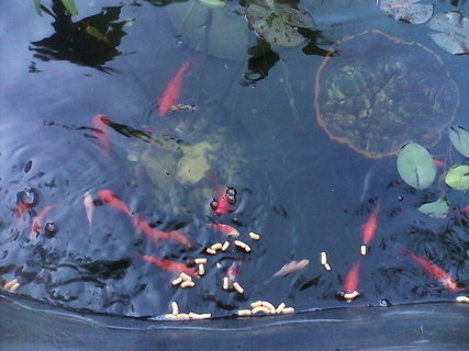 FOTKA - krmeni ryb 4